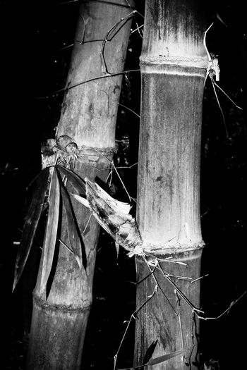 Bamboo close up Nature Outdoors Tree Focus On Foreground Day Close-up No People Wood - Material Plant Wood Selective Focus Bamboo Details Thailand Blackandwhite Black And White