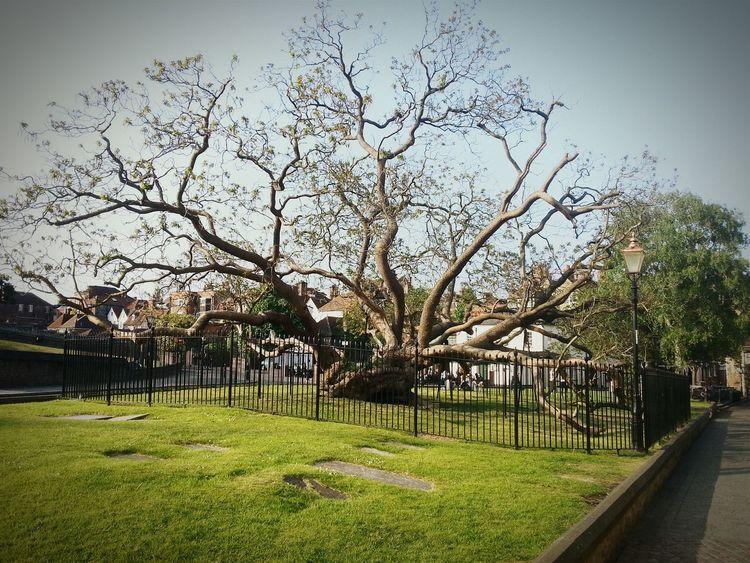 Beautiful catalpa tree in Rochester