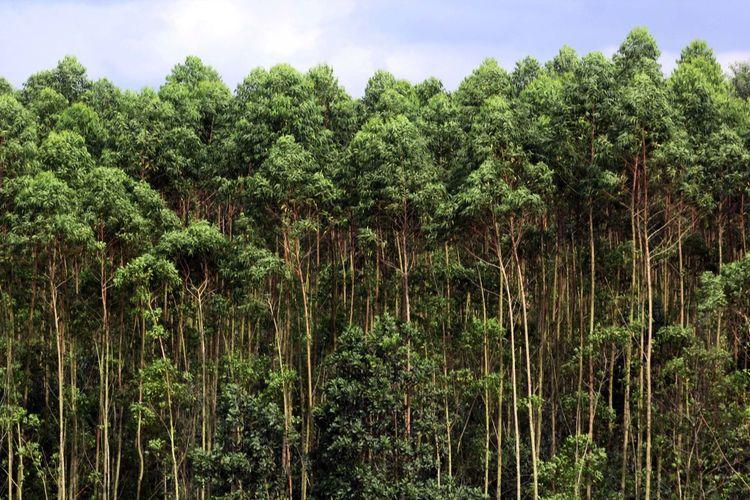 Eucalyptus trees in riau, indonesia.