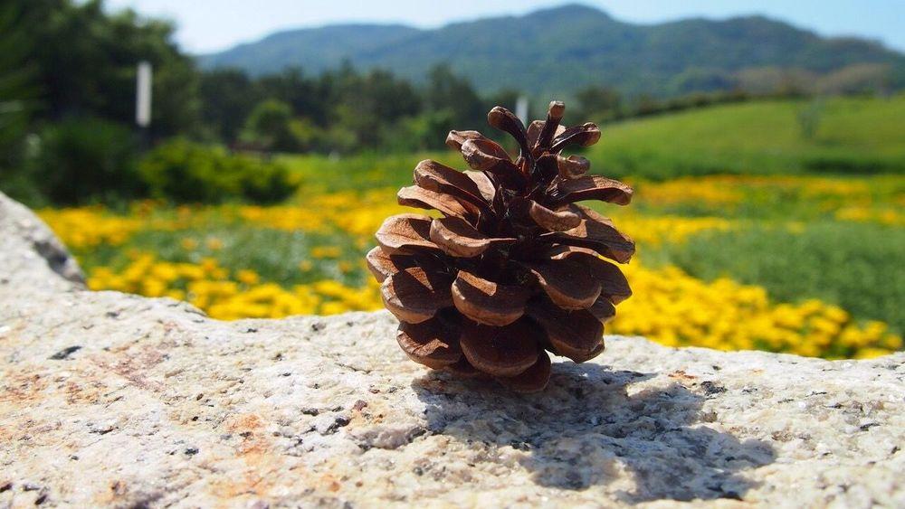 Nature On Your Doorstep Japan Hyogo Awaji Pinecone