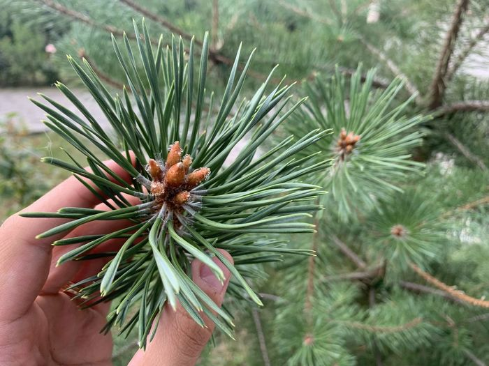 Close-up of hand holding pine tree