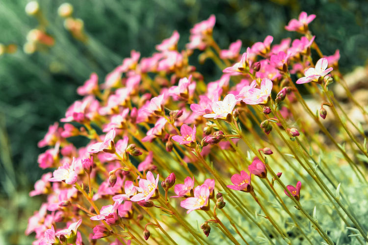 Beauty In Nature Blooming Blossoming  Blossoms  Close-up Colorful Flower Flower Bed Flower Head Flowers,Plants & Garden Fragility Freshness Garden Growth Nature Outdoors Petal Pink Plant Quarry Plants Rock Garden Rosé Saxifraga Summer Sunny Millennial Pink