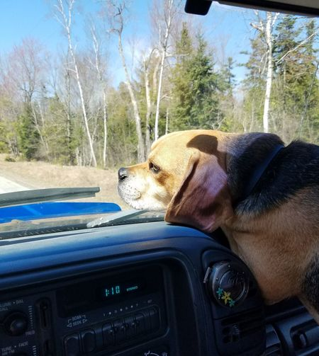 Pets Dog Truckrides Watching Pugglelife Beautiful Day No Filter Close-up Mansbestfriend Driving Through The Hills Watching The Road