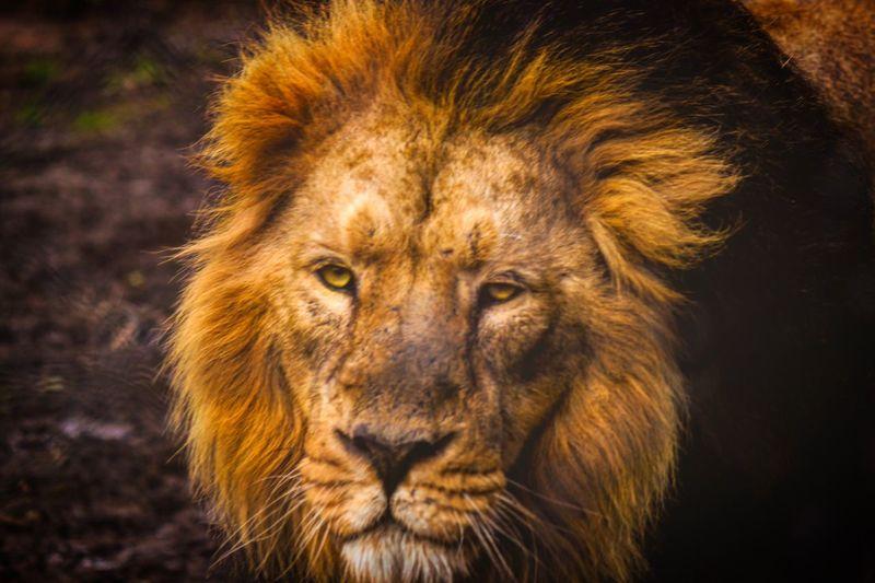 Lion Lion First Eyeem Photo