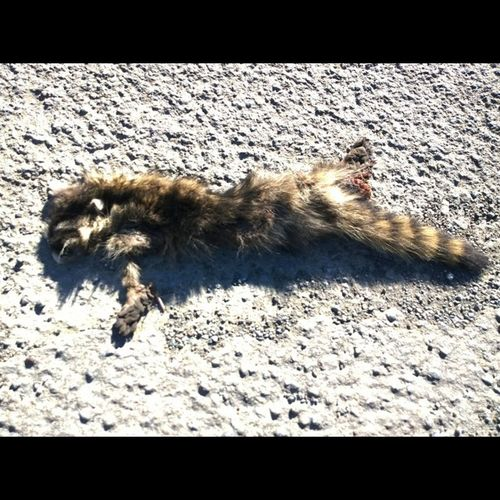 @thewinphan , only a tried friend would risk their life to get you photos of Roadkill Raccoon , Numnumnum Incidentalbbq
