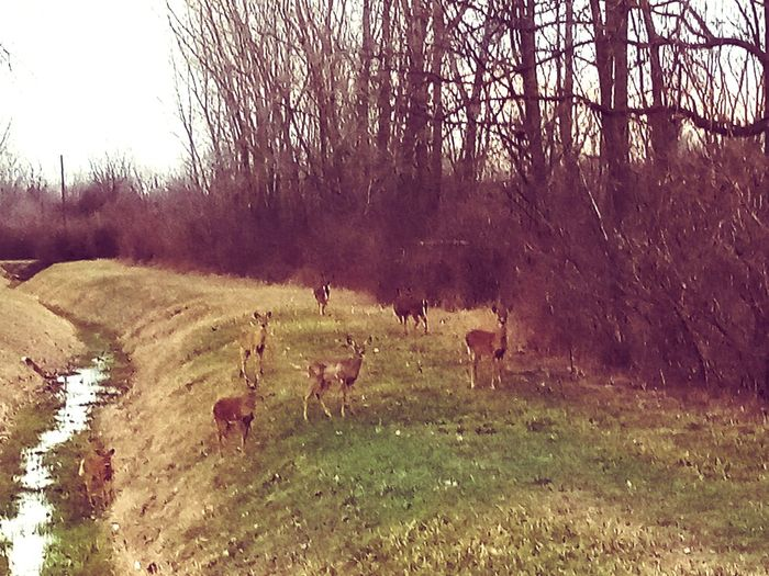 Toledo on my way to work and I see them every morning Deers Bright Colors Family Food Morning Snack Tree Sheep Grazing Field Grass Sky Livestock