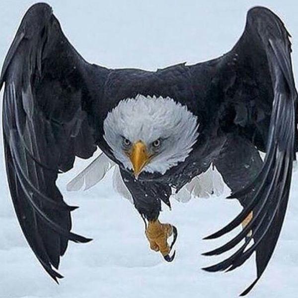 Eagle Karakartal Kartal Besiktas