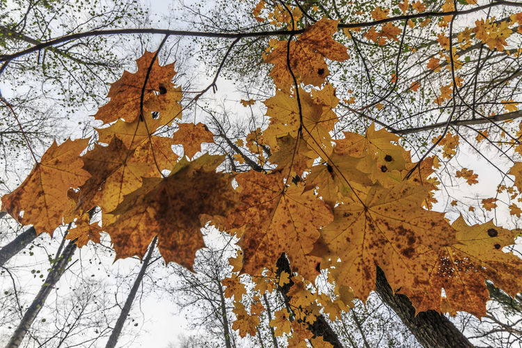 Autumn leaves. Maple leaves towards the sky. Sweden Autumn Autumn Collection Beauty In Nature Branch Change Close-up Day Dry Fall Focus On Foreground Growth Leaf Leaves Low Angle View Maple Leaf Maple Tree Natural Condition Nature No People Orange Color Outdoors Plant Plant Part Tree