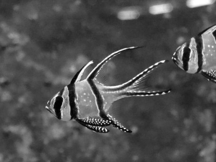 Two Pteragons Pteragon Kauderni Fishes Bnw Tree Bands Mouth Of Fish Fins Flippers In Fish Tank Zebra Full Lenght Close-up Face Of Fish Fish Photography Black And White Black And White - Fishes