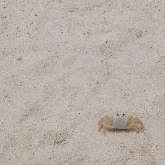 Crab ?