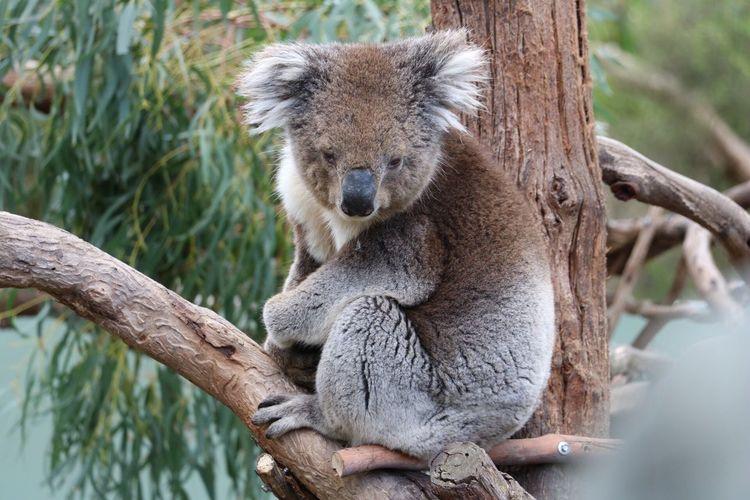 Koala Animal Themes Tree Nature Outdoors No People Enjoying Life Australia Grey Fluffy Love