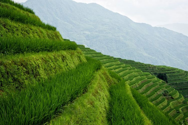 Travel Photography Agriculture Beauty In Nature Crop  Cultivated Land Day Farm Field Grass Green Color Growth Landscape Mountain Nature Outdoors Rice Paddy Rice Terraces Rural Scene Scenics Terraced Field Tourist Destination Tranquil Scene Tranquility