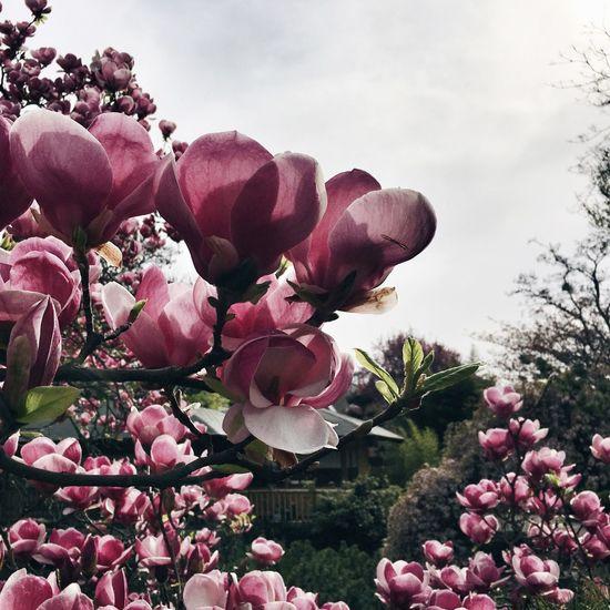 Magnolia Magnolia Tree Magnolia_Blossom Spring Urban Spring Fever