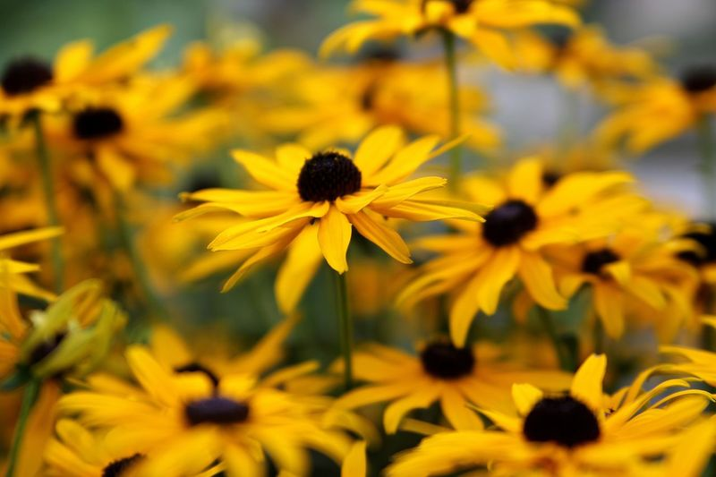Beauty In Nature Black-eyed Susan Blooming Close-up Day Flower Flower Head Fragility Freshness Growth Makro Nature No People Outdoors Petal Plant Rudbeckia Sonnenhut Yellow Live For The Story Paint The Town Yellow
