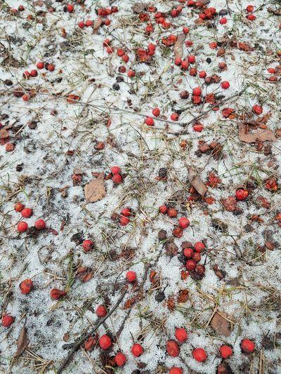 Full frame shot of red berries on snow covered land