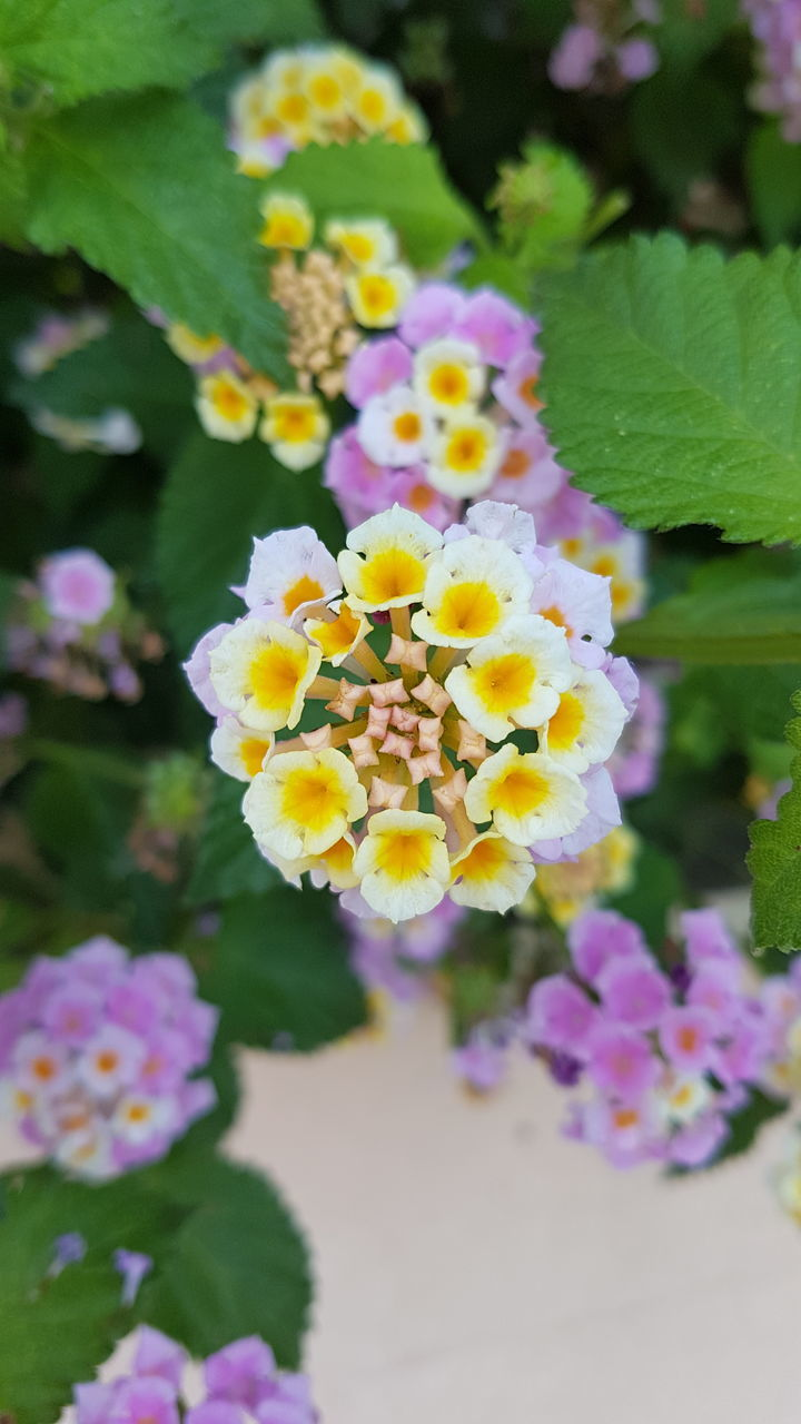 flower, fragility, petal, beauty in nature, plant, nature, freshness, flower head, growth, day, yellow, outdoors, no people, lantana camara, blooming, close-up