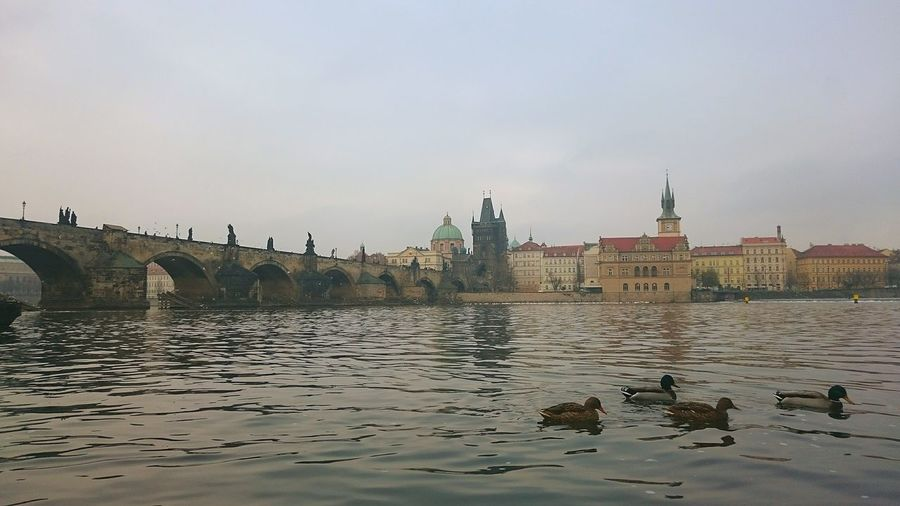 Taking Photos Sony Xperia Z3 Holiday EyeEm Prague Czech Republic Czech Republic Visiting Prague Prague Animal Ducks Riverside Charlesbridge Charlesbridgeview