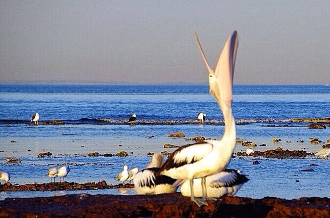animals in the wild, bird, water, sea, animal themes, animal wildlife, beach, nature, horizon over water, beauty in nature, no people, outdoors, pelican, scenics, day, gray heron, sky