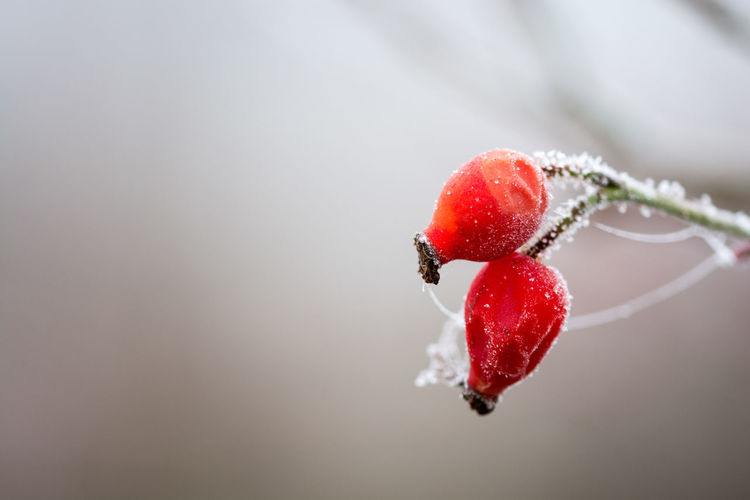 Berry Fruit Close-up Day Dof Freshness Frost Frosty Mornings Frozen Frozen Nature Fruit Gefroren Growth Hagebutte  Healthy Eating Juicy Macro Nature No People Outdoors Raureif  Red Red Red Berries Rose Hip Space For Text