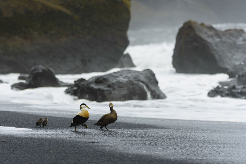 Animal Wildlife Animals In The Wild Beach Day Duck Family Iceland No People Outdoors Reynisfjara Vik