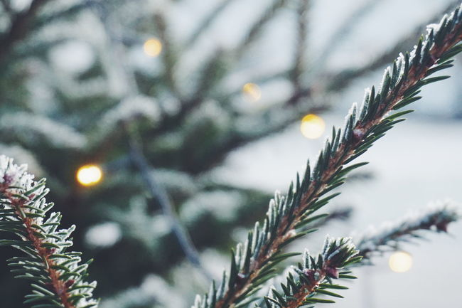 christmas tree Winter Tree Christmas No People Nature Outdoors Snow Day Christmas Decoration Close-up Branch Beauty In Nature Snowflake Sky Christmaslights Tradition Christmas Lights Winter Christmas Christmas Tree Tree Bokeh Light Defocused Christmas Around The World