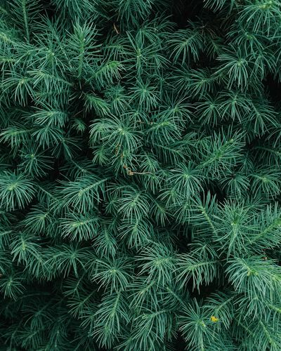Needle - Plant Part Detail Pattern Plant Backgrounds Tree Full Frame Green Color Growth Nature Beauty In Nature No People Day Tranquility