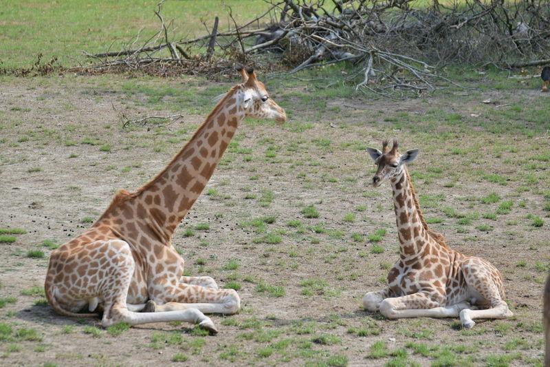 giraffes Giraffes Young Giraffe Prilaga Beauty In Nature Innocence Beautifull Animal Markings Field Grass Giraffe Animal Family Herbivorous