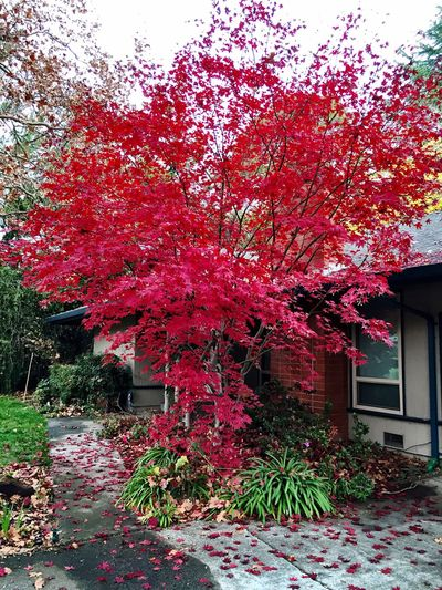 """Christmas By Accident"" A beautiful red Japanese Maple tree and accompanying green landscaping are unwittingly dressed up for Christmas. Christmastime Japanese Maple RedLeaves Green Green Green!  Greengrass Greenplants Autumn Leaves"