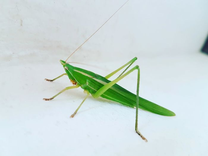 Close-up of grasshopper against white background
