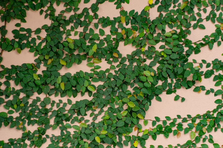 The tree on the wallUsed as background Beauty In Nature Close-up Creeper Plant Day Food Food And Drink Freshness Full Frame Green Color Growth Healthy Eating Ivy Leaf Leaves Nature No People Outdoors Plant Plant Part Tree Vine