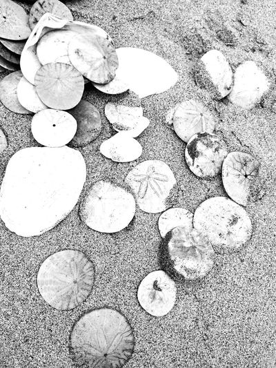 High Angle View Nature Outdoors No People Day Close-up Seashells Sand Dune Sand & Sea Sand Dollar Beautiful Beach Amazing Ocean Awesome_shots