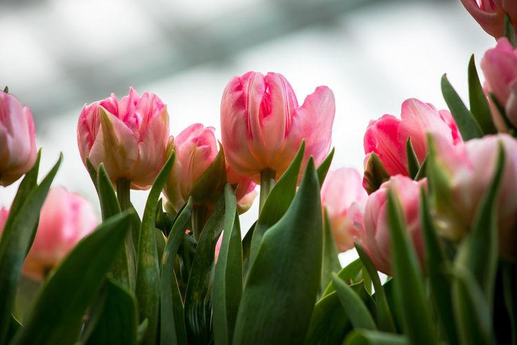 close-up pink