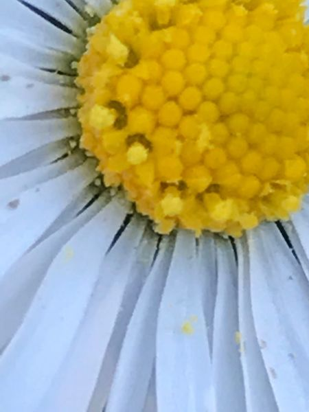 Flower Yellow Fragility Close-up Freshness Petal Flower Head Nature No People Beauty In Nature Indoors  Day Daisy Flower Daisy Daisy Close Up Daisy Flower Head