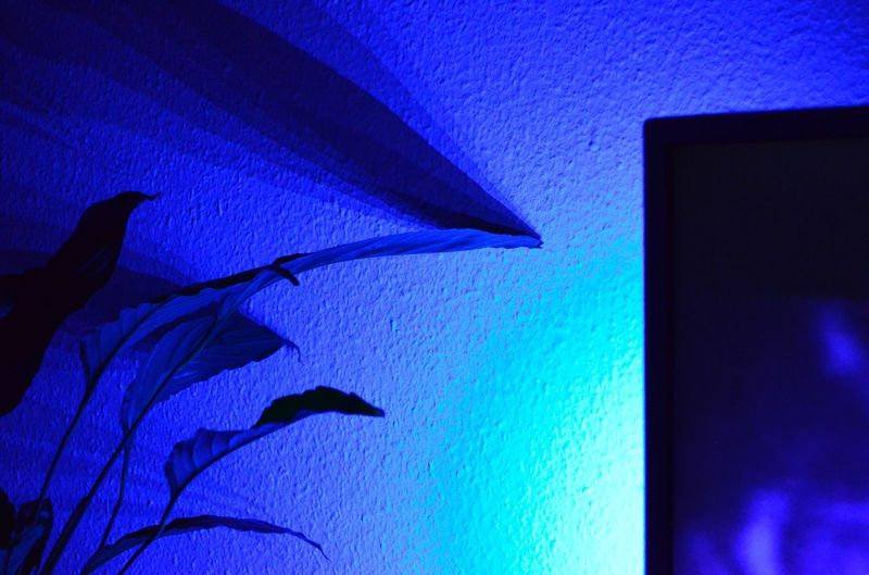 Ambilight NikonD5100 Nikonphotography Spathiphyllum Bluelight Shadows & Lights Shadow Flower Philips Tv Ambilight Blue No People Architecture Nature Built Structure Silhouette Indoors  Capture Tomorrow