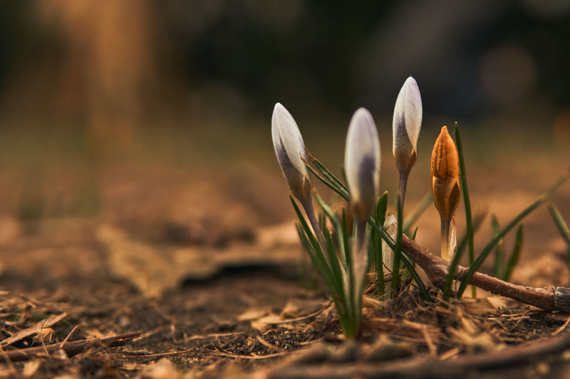 When crocuses grow, you know spring is here. Plant Growth Beauty In Nature Close-up Nature Freshness Springtime Spring Flowers Spring Selective Focus Beginnings Crocus