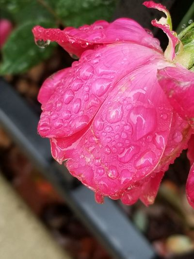 Flower on a rainy day Flower Nature Pink Color Red Beauty In Nature Wet Outdoors No People Rose - Flower Water Rain Drops Rain Drops On Flowers Perspectives On Nature A Little Rain Must Fall