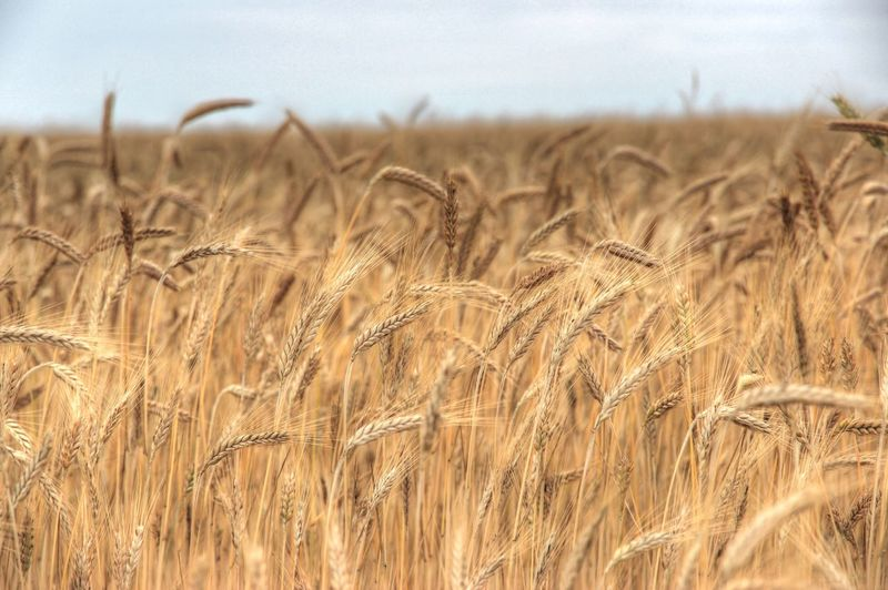 Close-up of wheat growing in field