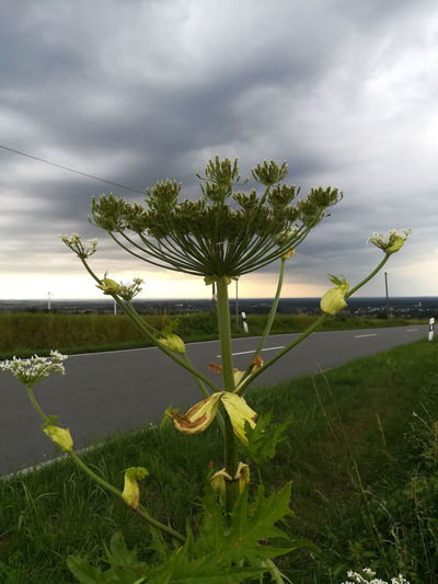 Beauty In Nature Cloud - Sky Day Fragility Freshness Giant Hogweed Grass Green Color Growth Hercules Herb Leaf Lesions Mantegazzianum Nature Neophyte No People Outdoors Photo Pigmentation Photo Toxic Plant Scenics Sky Tranquility Tree Water