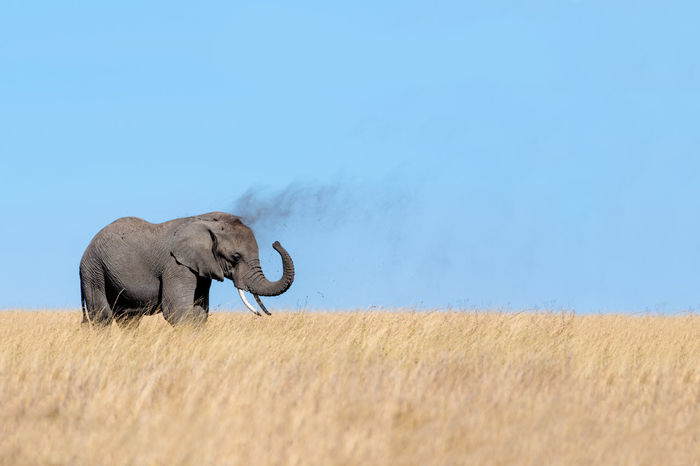 MUD Bath Animals In The Wild National Park Serengeti National Park Tanzania Wildlife & Nature Animals Dusting Elephant Wild Wildlife
