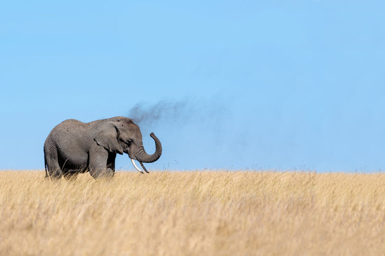 Side view of elephant standing on grassy field against clear blue sky