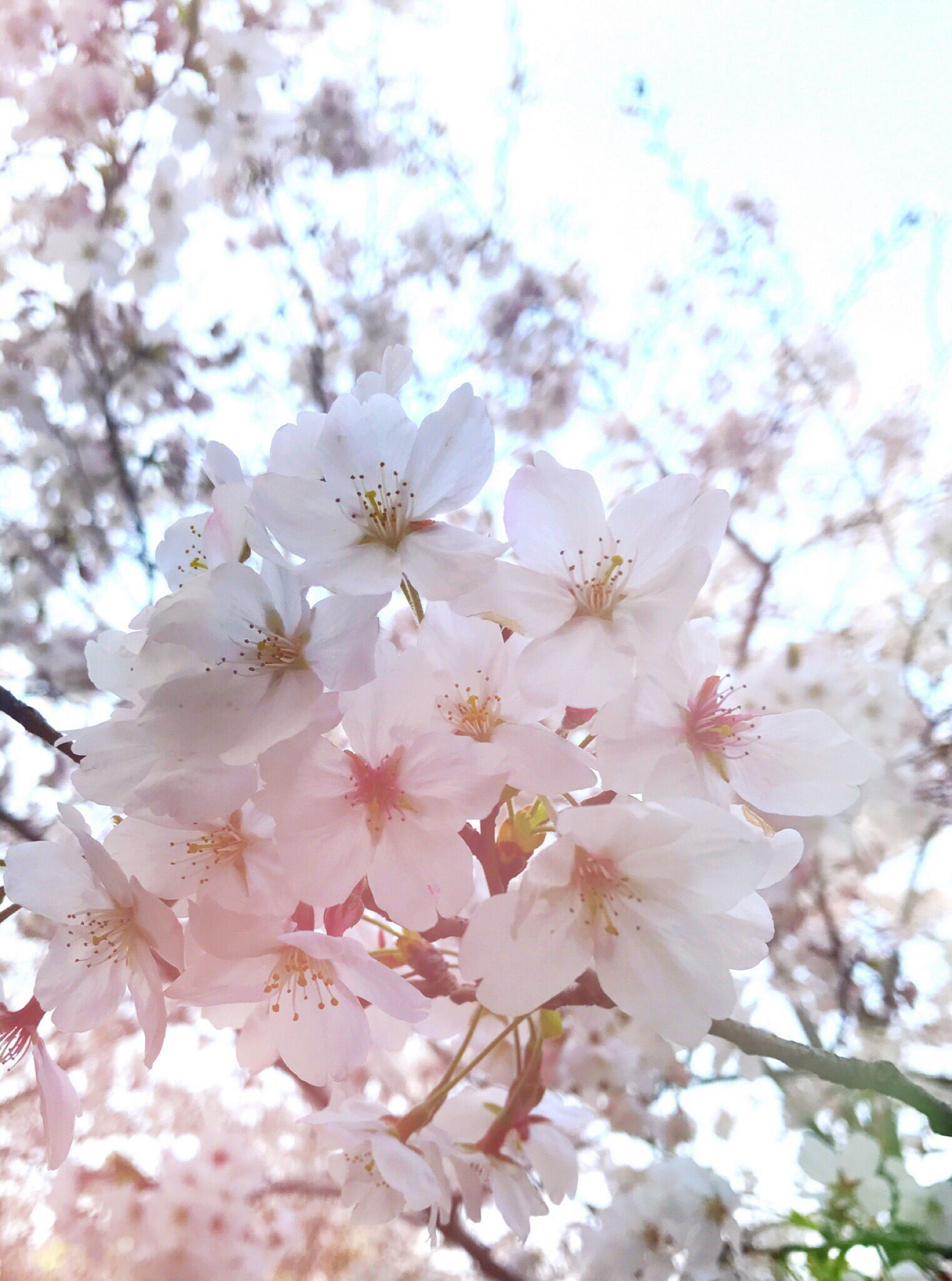 nature, flower, beauty in nature, fragility, growth, springtime, blossom, petal, freshness, tree, no people, pink color, outdoors, cherry blossom, close-up, sky, day, flower head, branch, almond tree, cherry tree, plum blossom