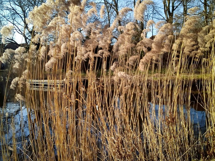 Full Frame Willow Tree Growing Tall Grass Reed - Grass Family Reed Sky Reflection Lake Water Tree Plant Tranquility No People Nature Beauty In Nature Tranquil Scene Day Scenics - Nature Growth Forest Land Non-urban Scene Grass Outdoors Swamp