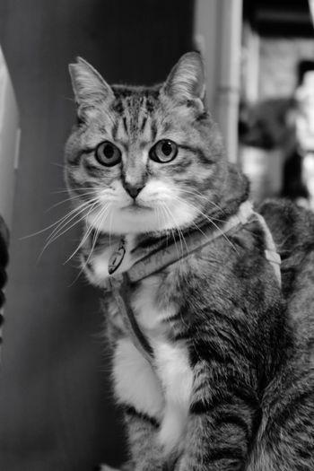 Cat Buuchan Bu-chan Female Cat