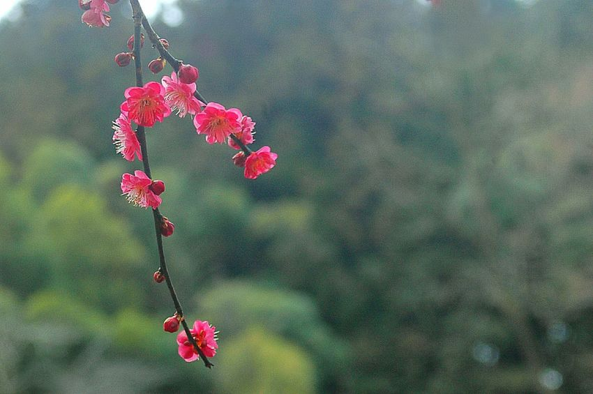 Showcase: February Relaxing Hello World Treescape Trees Flower Collection Fleshyplants Plum Bokeheffect Japan 梅 Blossom Colors EyeEm Nature Lover Flowers Pink