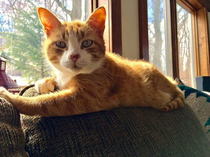 My friend Larry Pets One Animal Domestic Cat Looking At Camera Feline Animal Themes Close-up No People Home Interior Indoors  Day