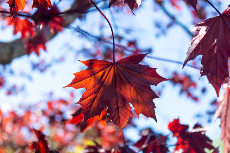 Autumn Leaf Plant Part Change Plant Beauty In Nature Close-up Focus On Foreground Tree No People Day Nature Maple Leaf Leaves Maple Tree Branch Vulnerability  Growth Fragility Outdoors Natural Condition Autumn Collection Red Red Leaves