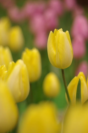 国営アルプスあづみの公園で開催中の「アイスチューリップの庭」というイベント。造花じゃなくて生花ですよ。 Tulips Flowers Yellow Flowers Just Now