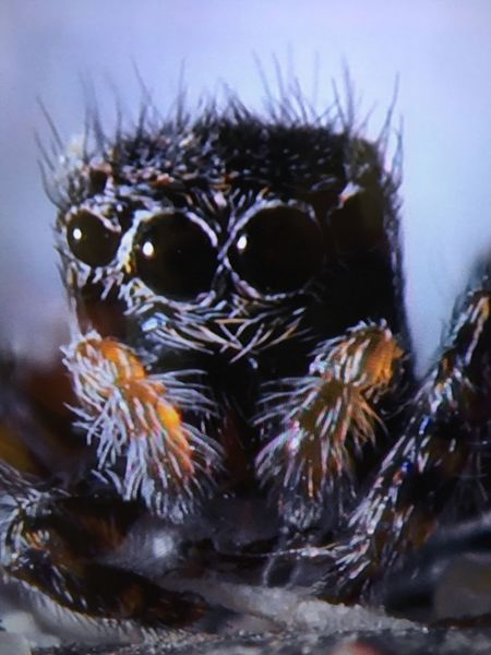 One Animal Animal Themes Animals In The Wild Spider Close-up No People Animal Wildlife Jumping Spider Nature Sea Life Day Indoors  Everest Region EyeEmSelect EyeEmNewHere Spider Nature_collection Eyenaturelover Spider Eyes Mountain Range