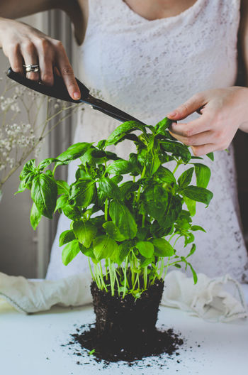 Midsection of woman cutting basil leaves