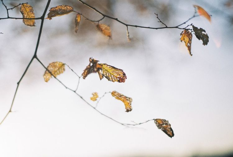 Close-up of dry leaves on branch against sky